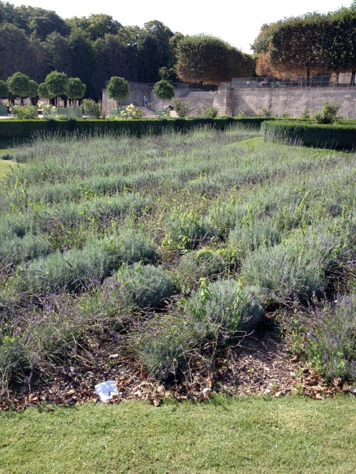 In the Tulleries: Lavender bed
