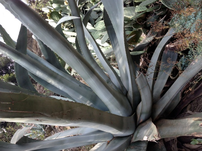 Aloe plants larger than us grew all over this region.